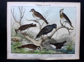 Kirby & Schubert 1889 Bird Print. Skylark, Woodlark Crested Lark Starling Dipper